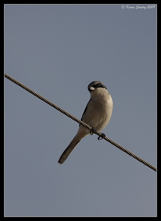 Loggerhead Shrike on perch, Salton Sea, Imperial County, California, November 2009