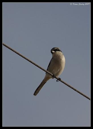 Loggerhead Shrike on perch, Salton Sea, Imperial County, California, November 2009