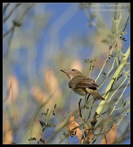 Warbling Vireo, near Anza Borrego Desert State Park visitor center, San Diego County, California, October 2011