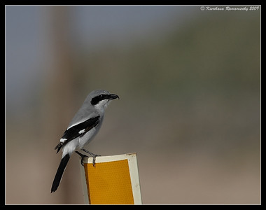 Loggerhead Shrike, Salton Sea, Imperial County, California, November 2009