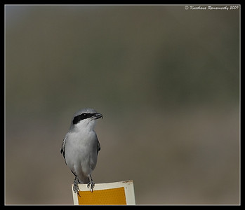 Loggerhead Shrike, Salton Sea, Imperial County, California, November 2009