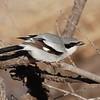 Loggerhead Shrike (Lanius ludovicianus) Whitewater Draw WMA, AZ