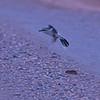 Northern Shrike (Lanius excubitor) Gackle, ND