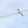 Northern Shrike (Lanius excubitor) Long Lake NWR, ND