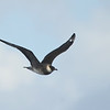 Pomarine Jaeger (Stercorarius pomarinus) off  Cape Hatteras NC