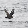 South Polar Skua (Stercorarius maccormicki) Farallon Islands Pelagic Trip, San Francisco Co., CA