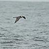 Pomarine Jaeger (Stercorarius pomarinus) Monterey Bay, CA