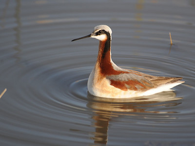 Snipe and Phalaropes