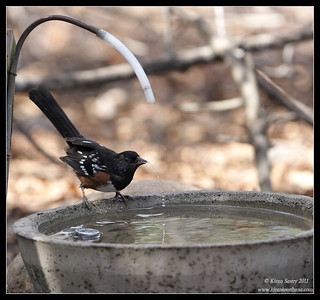 Spotted Towhee taking a sip, The Drip, Cabrillo National Monument, San Diego County, California, October 2011