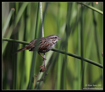 Song Sparrow, Lower Otay Lake, San Diego County, California, October 2011