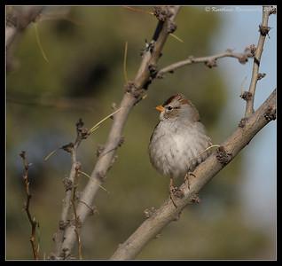 Juvenile white-crowned sparrow at the visitor center, Bosque Del Apache, Socorro, New Mexico, November 2010