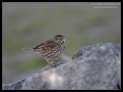 Savannah Sparrow, Bolsa Chica Ecological Reserve, Orange County, California, February 2011