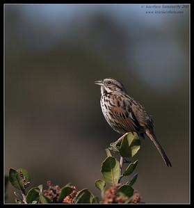 Song Sparrow, La Jolla Cove, San Diego County, California, February 2011