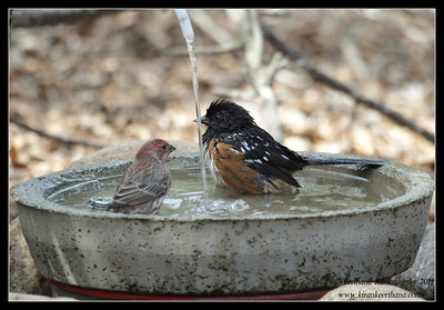 Spotted Towhee taking a dip while the House Finch drinks, The Drip, Cabrillo National Monument, San Diego County, California, October 2011