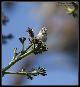 Song Sparrow, La Jolla Cove, San Diego County, California, April 2012