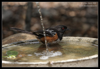 Spotted Towhee taking a dip, The Drip, Cabrillo National Monument, San Diego County, California, June 2011