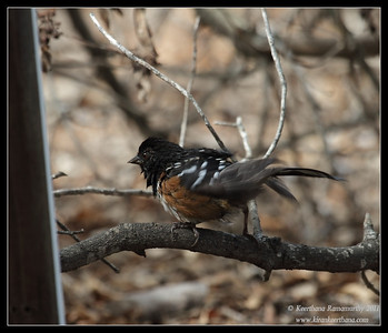 Spotted Towhee drying off, The Drip, Cabrillo National Monument, San Diego County, California, October 2011