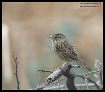 Lincoln Sparrow, Paton's Feeders, Patagonia, Arizona, November 2011