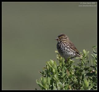 Song Sparrow, San Elijo Lagoon, San Diego County, California, June 2011