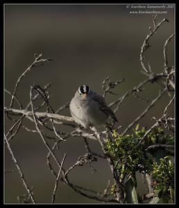White-crowned Sparrow, San Elijo Lagoon, San Diego County, California, February 2011