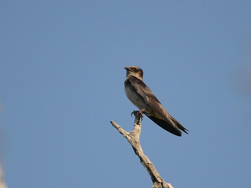 Northern Rough-winged Swallow (Stelgidopteryx semipennis) Garden Key, Dry Tortugas NP, FL