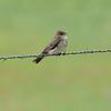 Northern Rough-winged Swallow (Stelgidopteryx semipennis) Chicago Lake, Pettibone ND