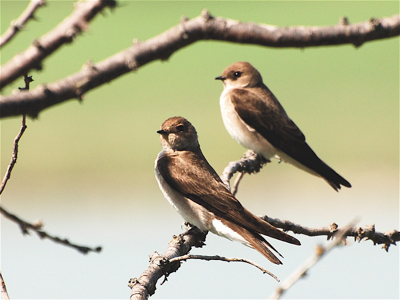 Northern Rough-winged Swallow (Stelgidopteryx semipennis) Icelandic SP, ND