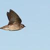 Northern Rough-winged Swallow (Stelgidopteryx semipennis) Stewart Lake NWR, ND