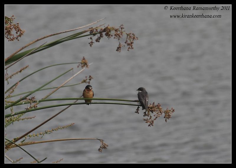 Barn Swallows, Oso Flaco Lake, Pismo Beach, California, July 2011
