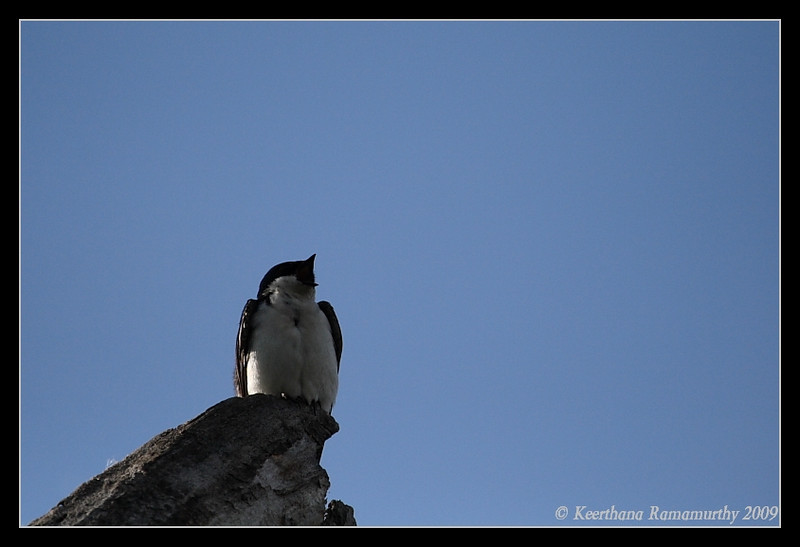 Tree Swallow, Kumeyaay Lake, Mission Trails Regional Park, San Diego County, California, May 2009