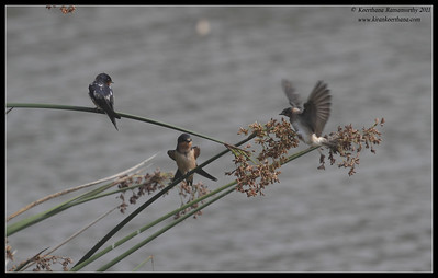 Barn Swallows, Oso Flaco Lake, Pismo Beach, California, July 2011
