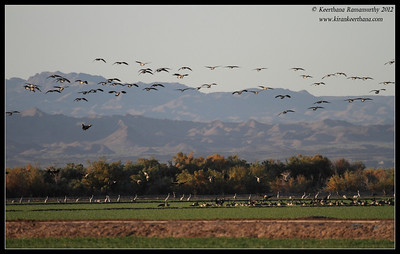 Canada Geese landing at Cibola National Wildlife Refuge, Arizona, November 2012