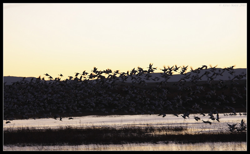 Snow Geese early morning liftoff from the lake, Bosque Del Apache, Socorro, New Mexico, November 2010