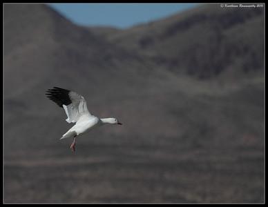 Snow Goose landing, Bosque Del Apache, Socorro, New Mexico, November 2010