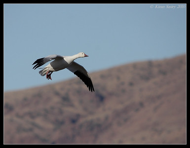 Snow Goose Landing, Bosque Del Apache, Socorro, New Mexico, November 2010