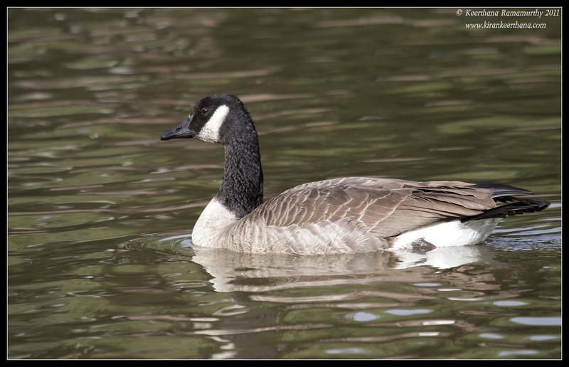 Canada Goose, Lindo Lake, San Diego County, California, November 2011