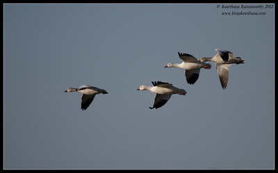 Snow Geese at Cibola National Wildlife Refuge, Arizona, November 2012