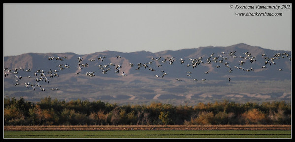 Snow Geese landing at Cibola National Wildlife Refuge, Arizona, November 2012