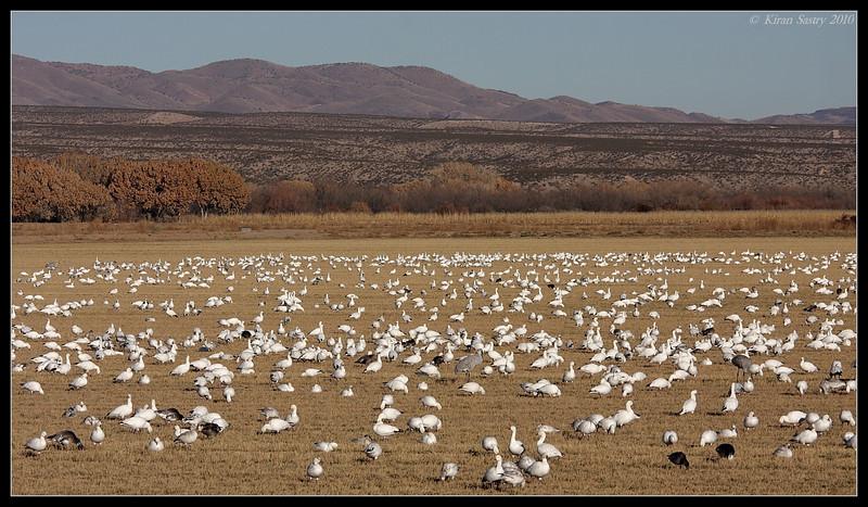 Field of Snow Geese, Bosque Del Apache, Socorro, New Mexico, November 2010