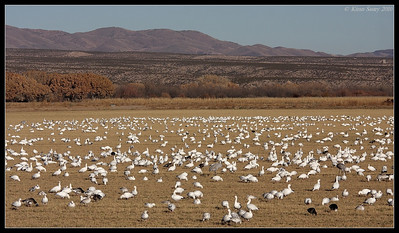 Field of Snow Geese, Bosque Del Apache, Socorro, New Mexico, November 2010