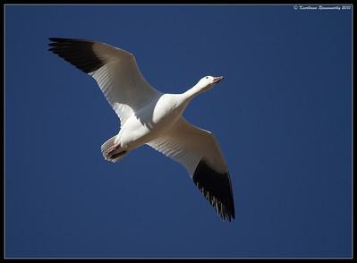 Snow Goose, Bosque Del Apache, Socorro, New Mexico, November 2010