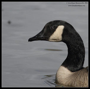 Canada Goose, Lindo Lake, San Diego County, California, November 2011