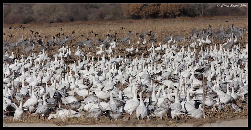 Snow Geese, Bosque Del Apache, Socorro, New Mexico, November 2010