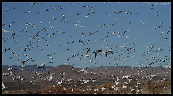 Snow Geese landing, Bosque Del Apache, Socorro, New Mexico, November 2010