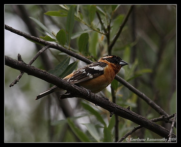 Black-headed Grosbeak, Old Mission Dam, Mission Trails Regional Park, San Diego County, California, May 2009