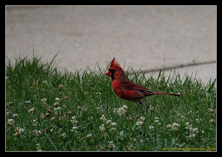 Northern Cardinal, Male, Mason Neck State Park, Virginia, June 2008