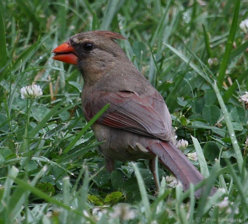 Northern Cardinal, Female, Mason Neck State Park, Virginia, June 2008