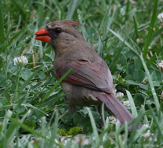 Northern Cardinal, Female, Mason Neck State Park, Virginia, June 2008