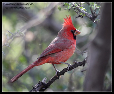 Male Northern Cardinal on the Proctor Road Trail, Madera Canyon, Arizona, November 2011