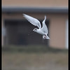 Forster's Tern, Famosa Slough, San Diego County, California, December 2008